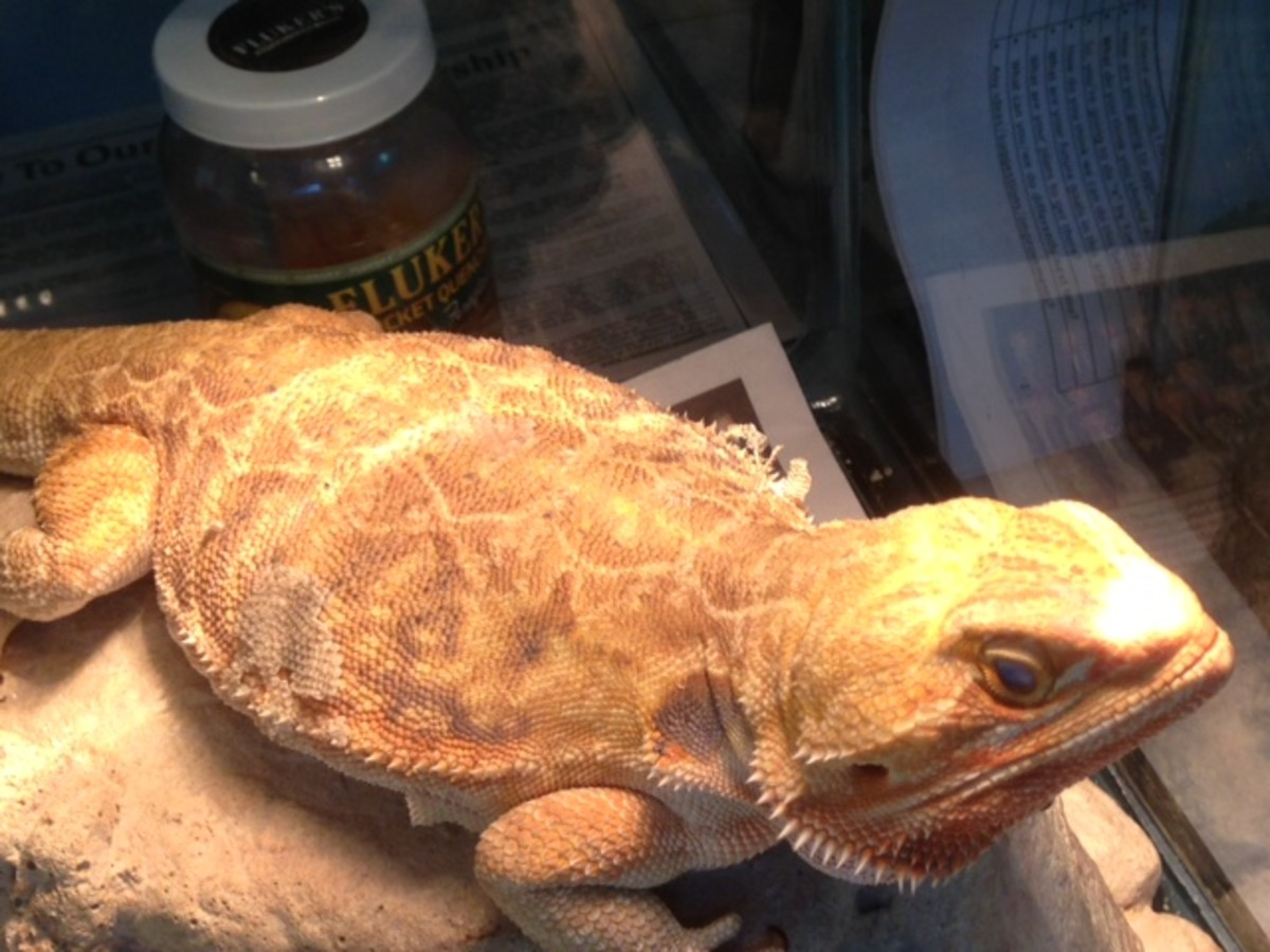 Leatherback Female Bearded Dragon