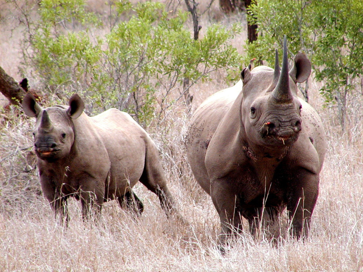 Two black rhinos in Mkhuze Africa