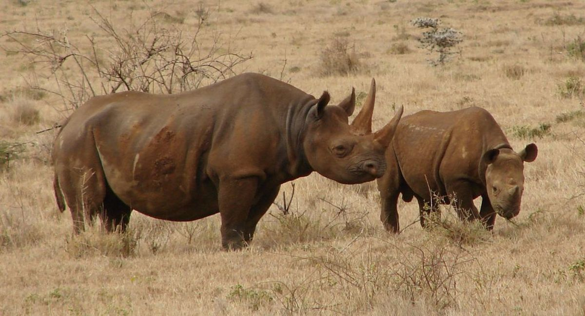 Two black rhinos (mother and calf) in Lewa, central Kenya
