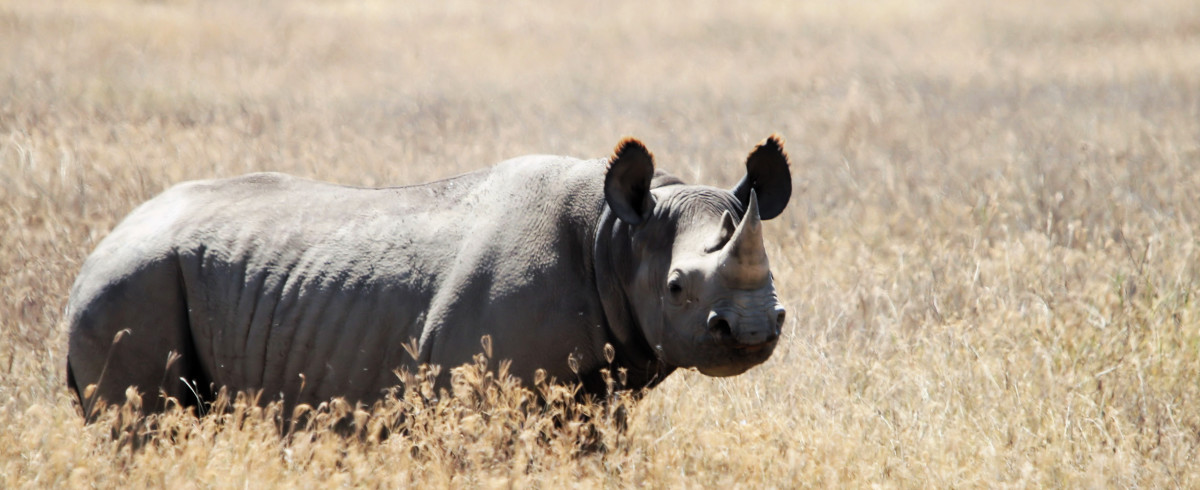 Black Rhinoceros - A Critically Endangered Species
