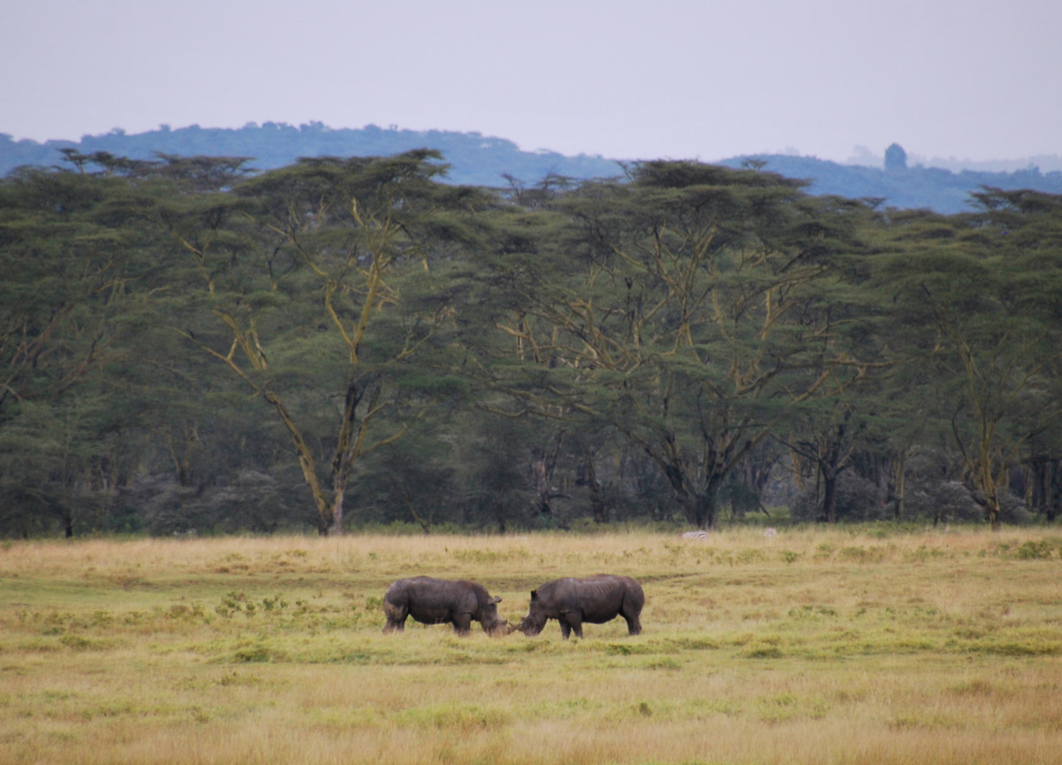 Black rhinos in Lake Nakuru, Kenya