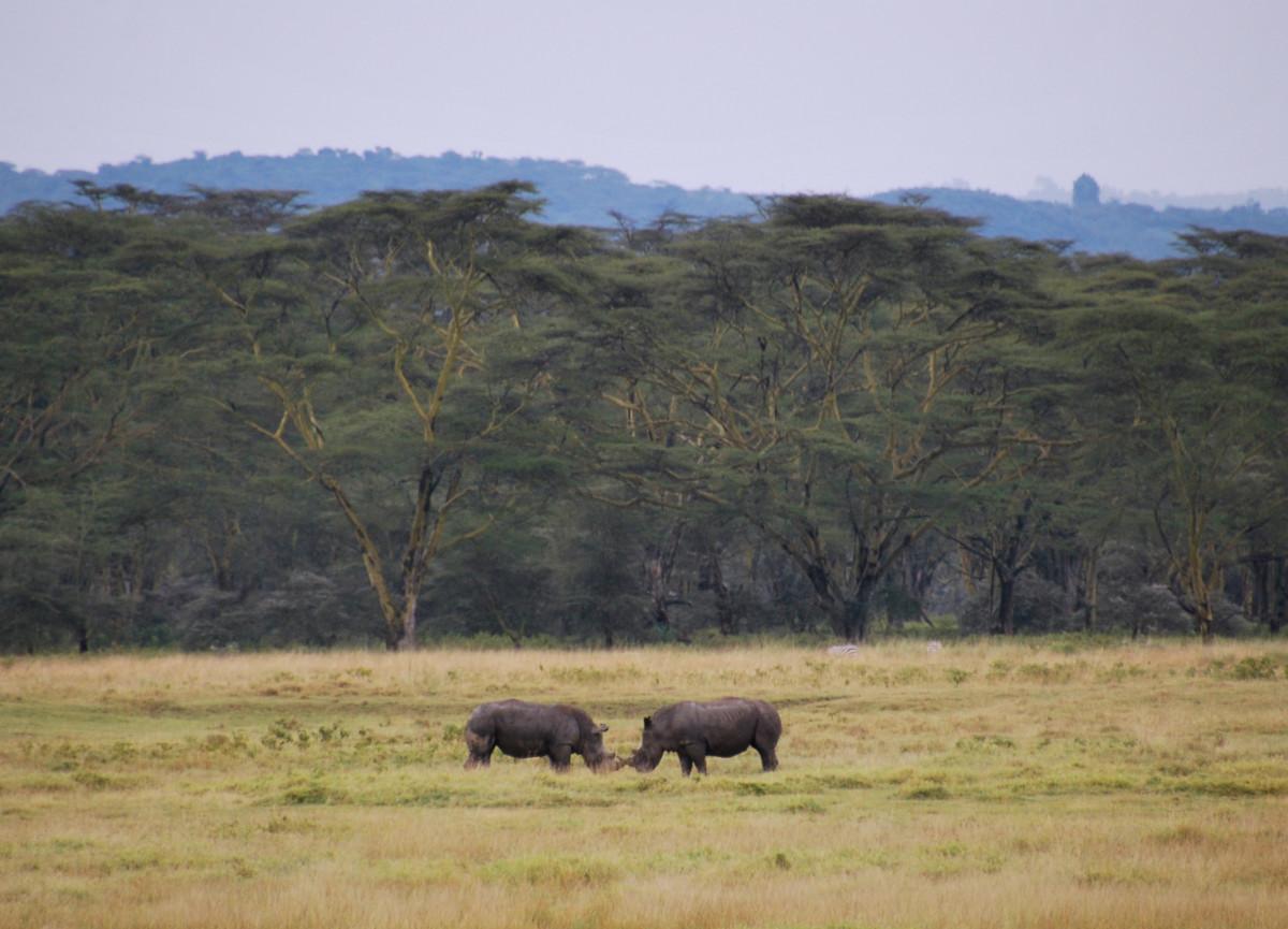 Black rhinos in Lake Nakuru, Kenya