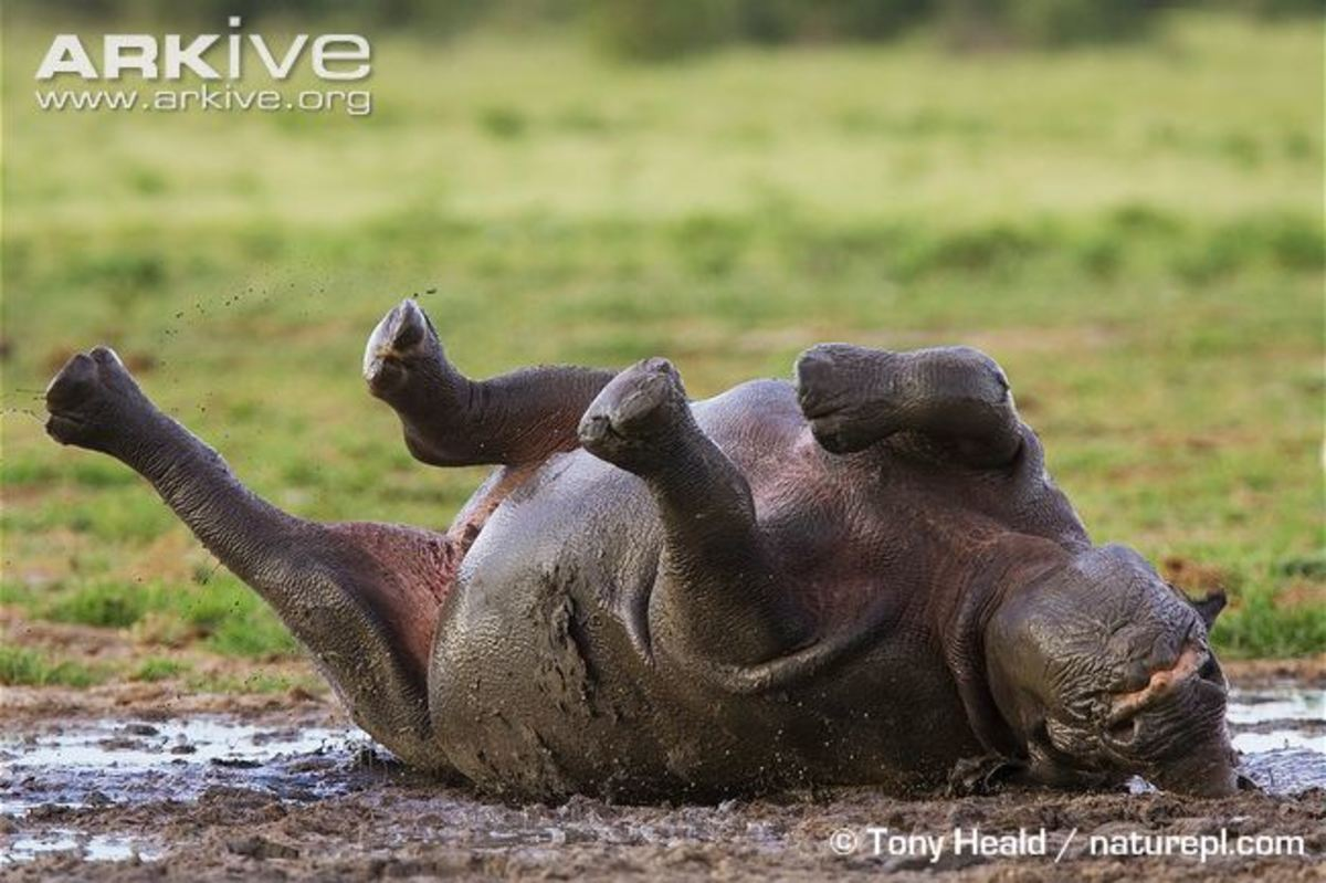 Black rhino wallowing in the mud