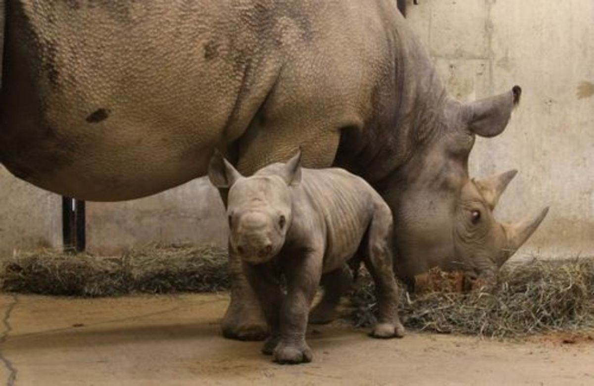 Black rhino and its calf at St Louis zoo,