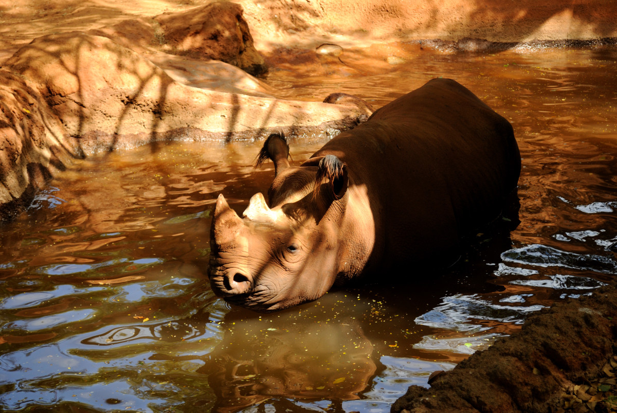 Black Rhino enjoying the swim