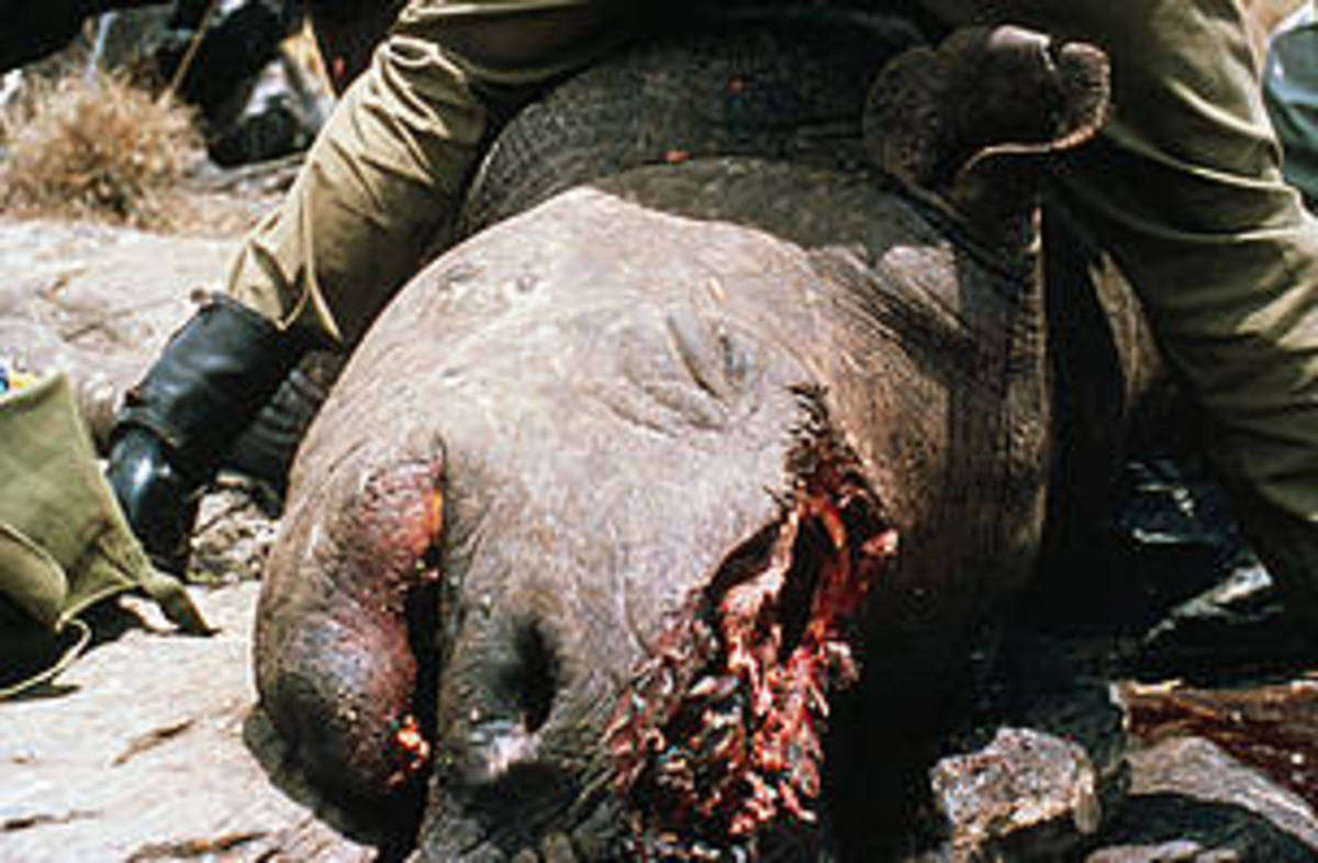 Poached black rhino