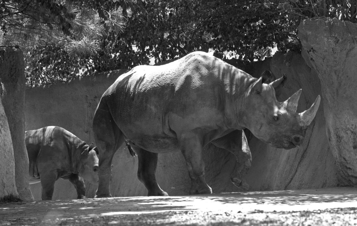 A black rhino and her calf at the St. Louis Zoo.