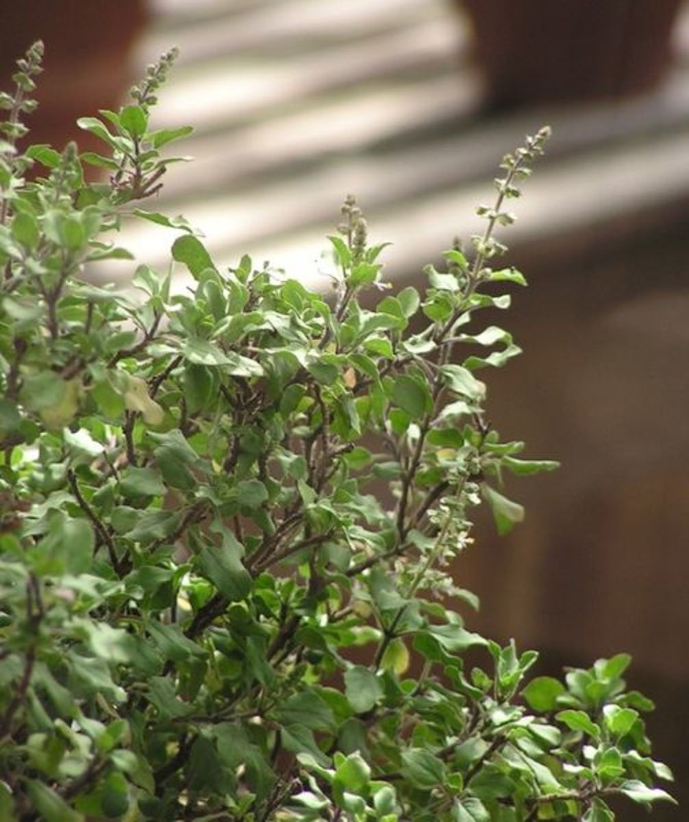 Tulsi Plant to treat cold