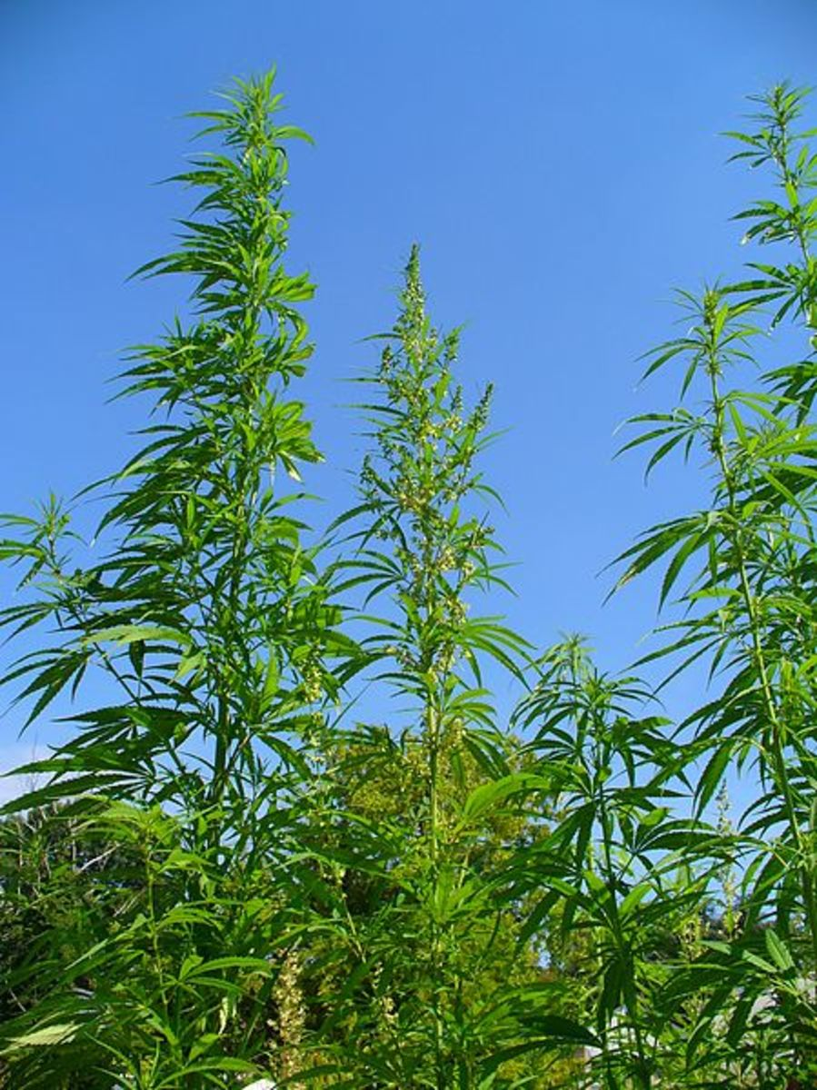 Marijuana is a tall spindly plant. They can be as tall as six feet. The leaves of a marijuana plant have five to seven feathery leaflets that all come together at the base.