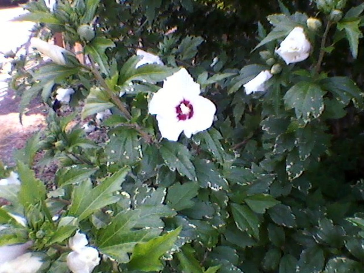 The Beloved referred to herself as the Rose of Sharon, a beautiful and fragrant wildflower.
