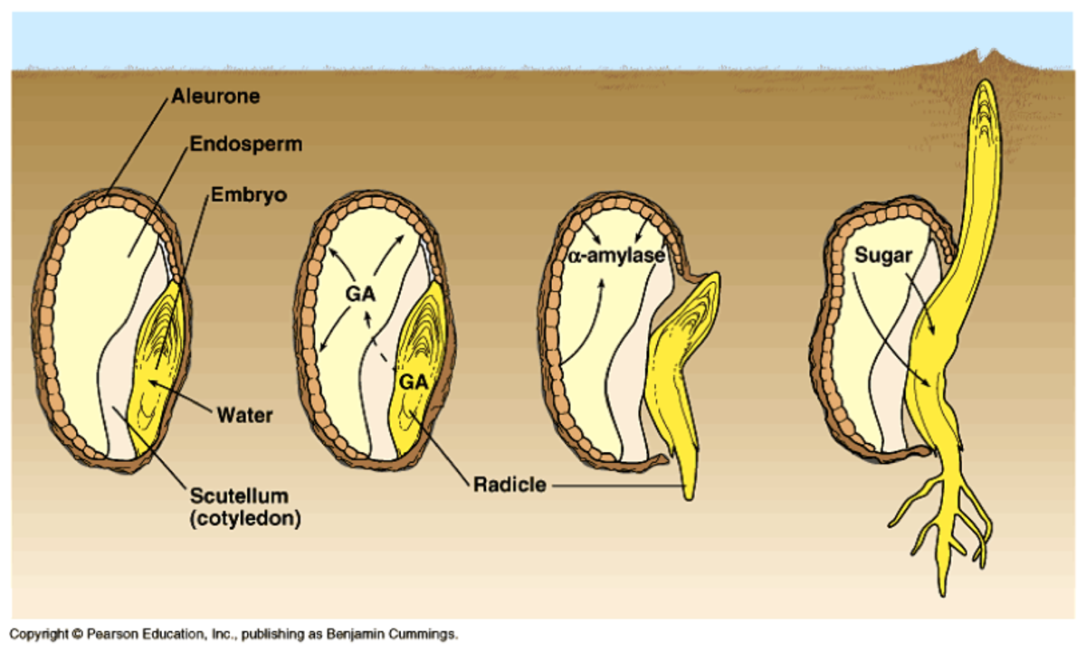 Seed germination.