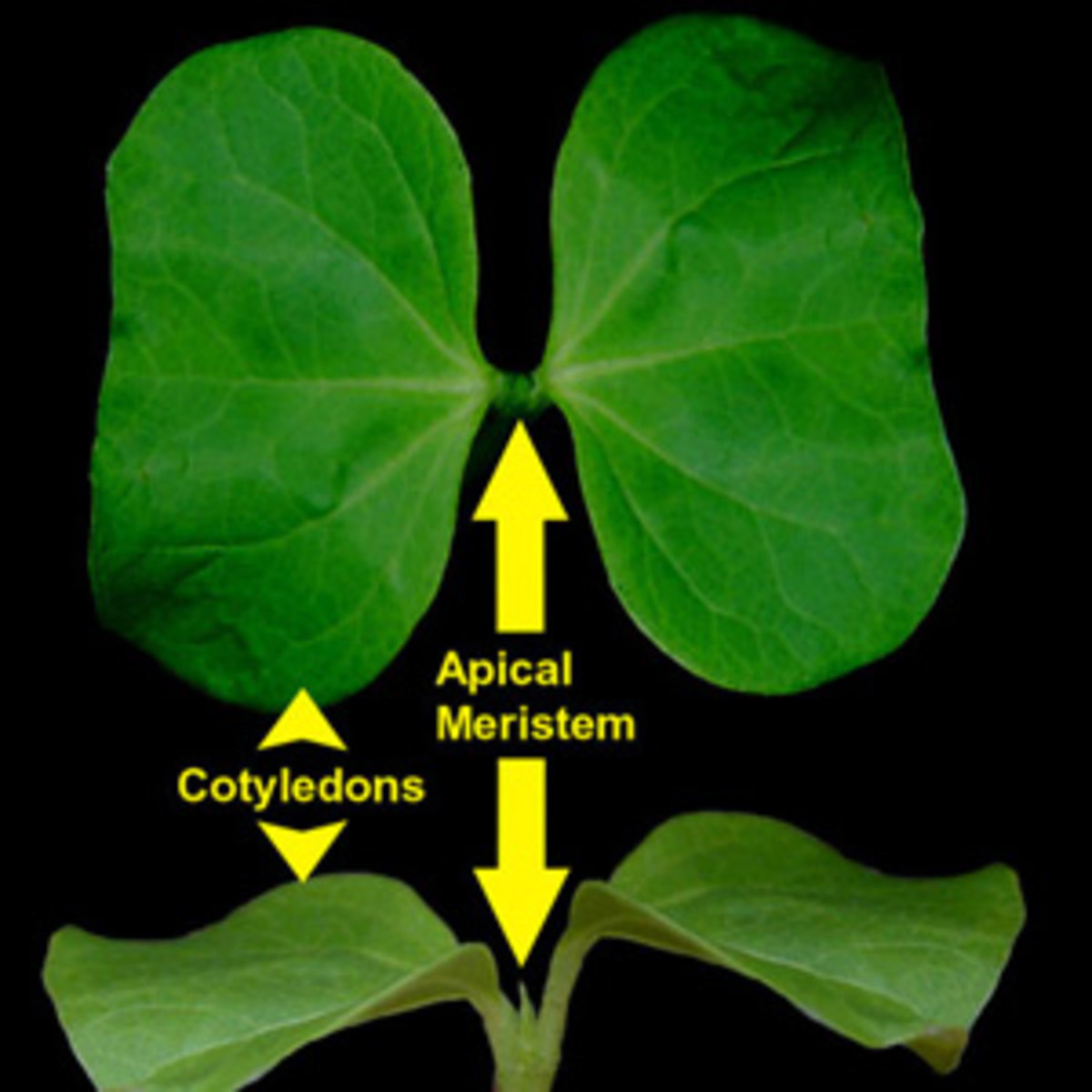 Detail on cotton cotyledons.