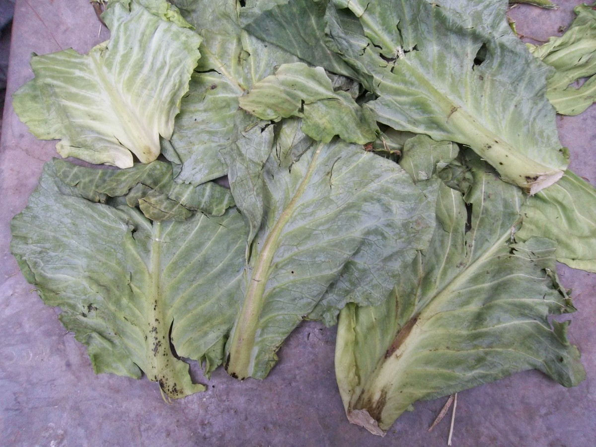 Cleaned and wilted cabbage leaves