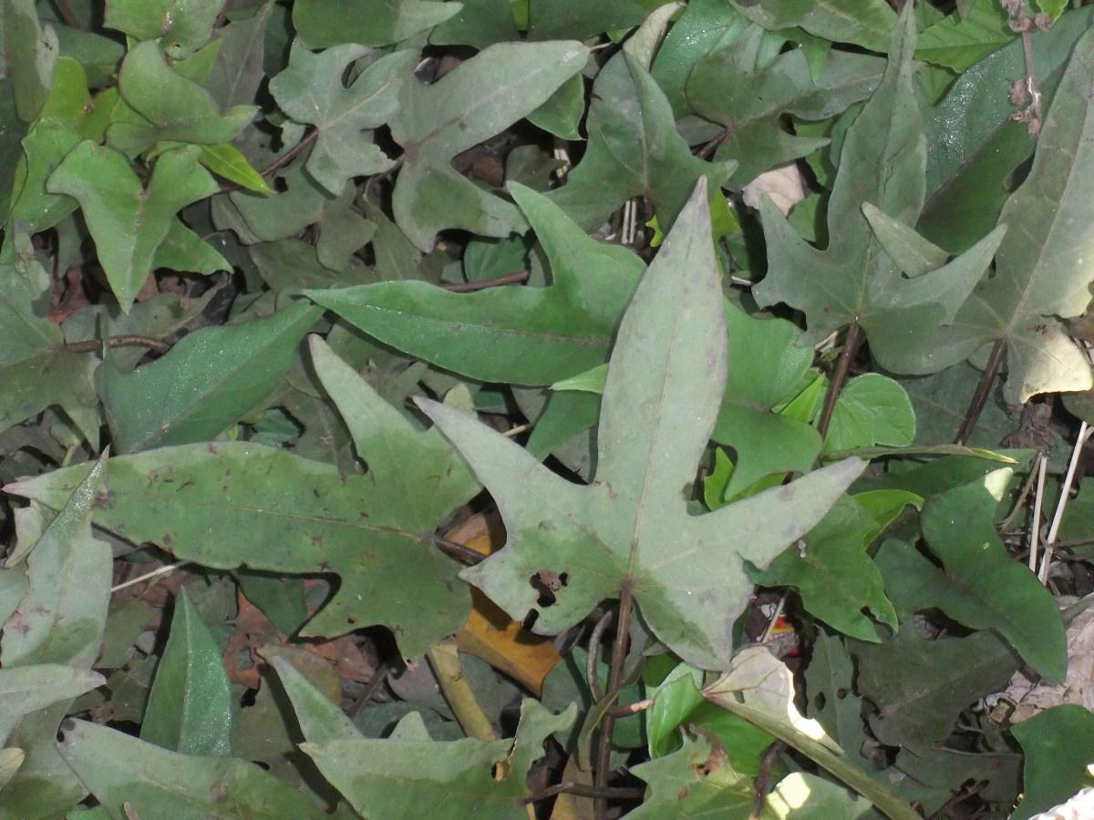 Sweet potato vines also make good rabbit food.