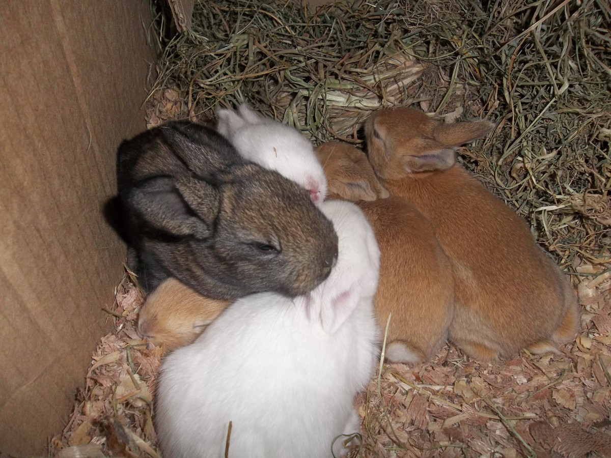 Two-week-old baby rabbits, six in total, safely born in a nesting box. Their mother is a mixed breed but dad is pure Flemish Giant. The dark one is taking after dad and two white ones after the mother.