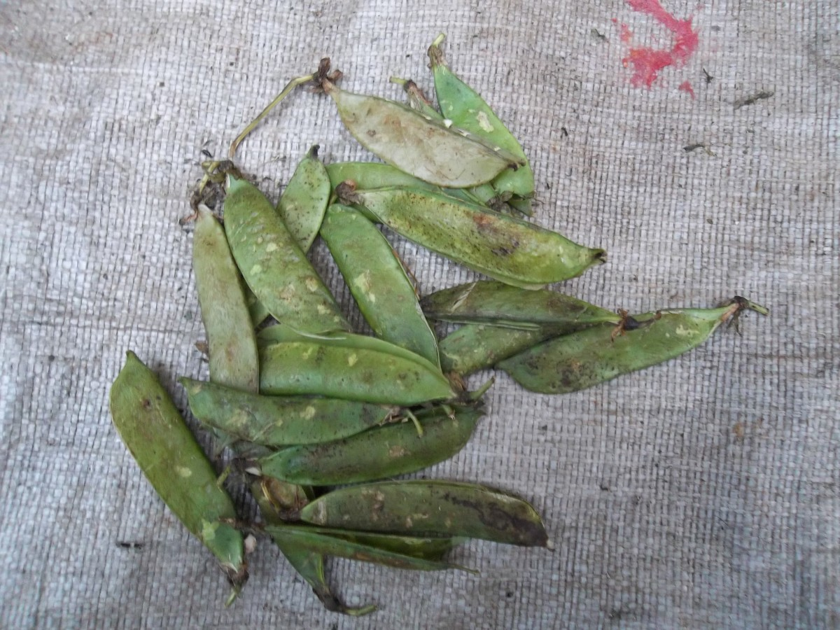 washed green pea pods. If you have very many of them, allow them to dry completely in the sun so that they can keep for longer