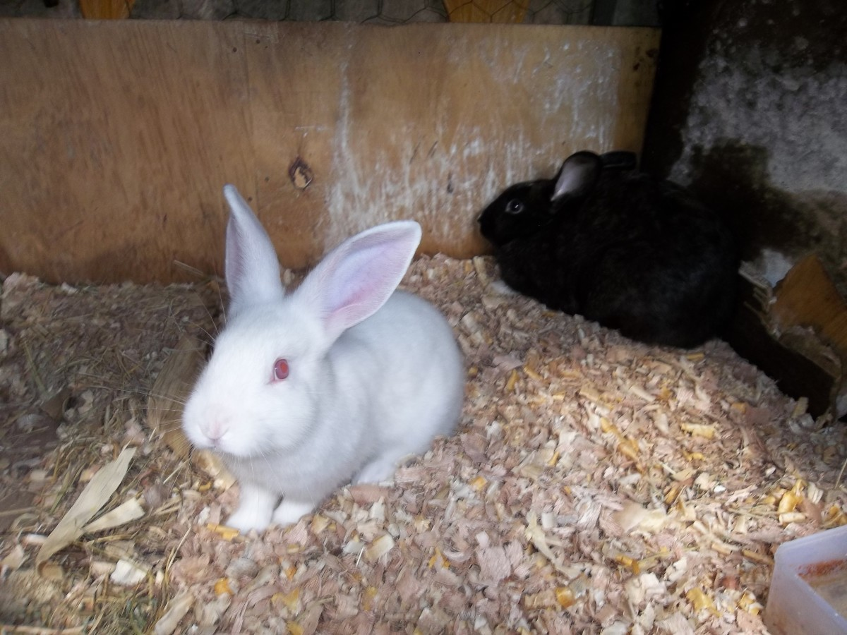 A one month old ' sole survivor' of the keeper's negligence to install a nesting box in good time. Fathered by a pure breed Flemish Giant,  the mother (in the backgraound) is a black mixed breed. Offspring is maturing fast, just like daddy.