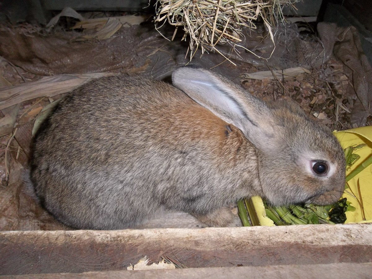 A four-month-old Flemish Giant - notice the suspended hay