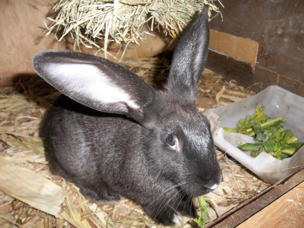 A five month old Chinchila rabbit