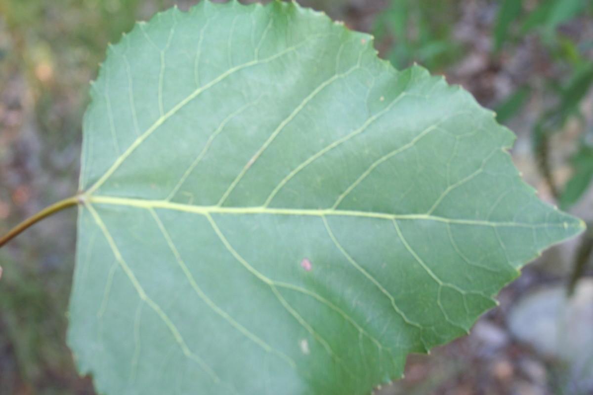Poplar Tree Leaf