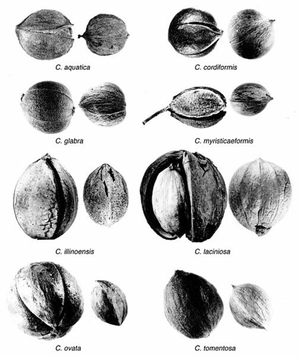 Carya nuts from North American trees