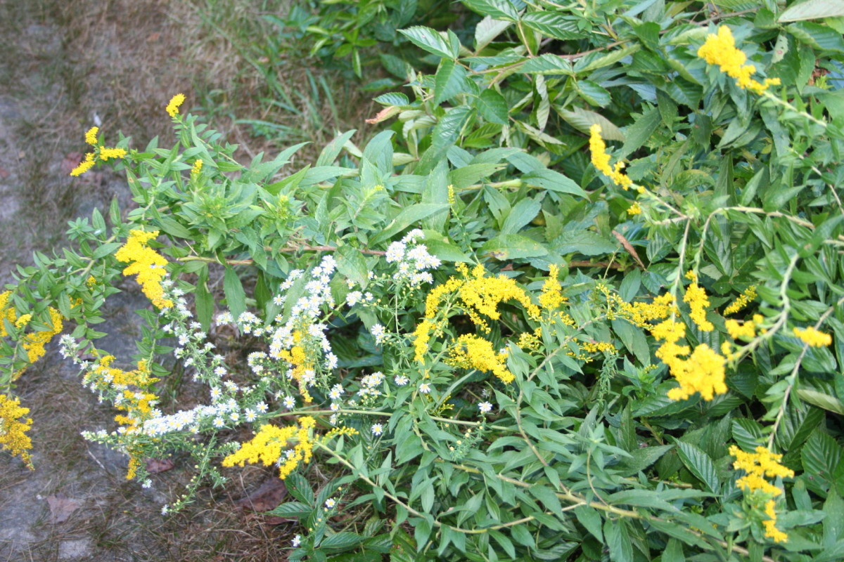 Goldenrods and Asters