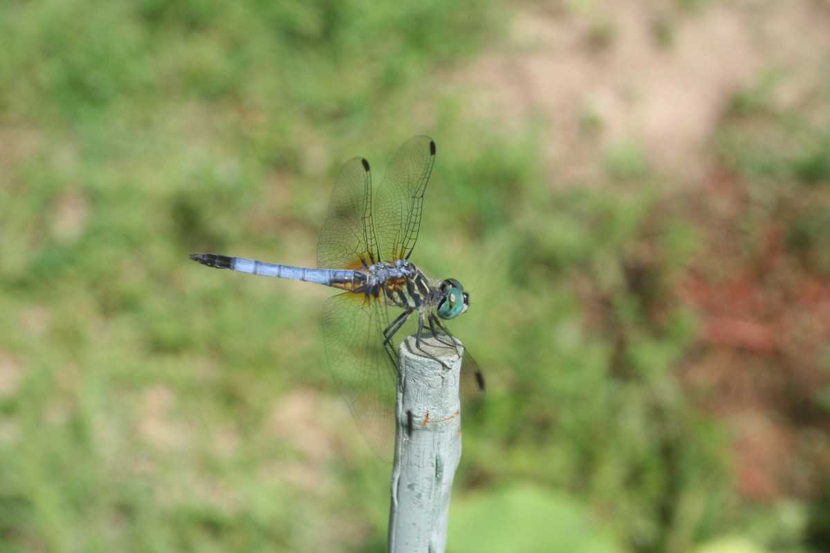 A dragonfly hangs on to a garden stake