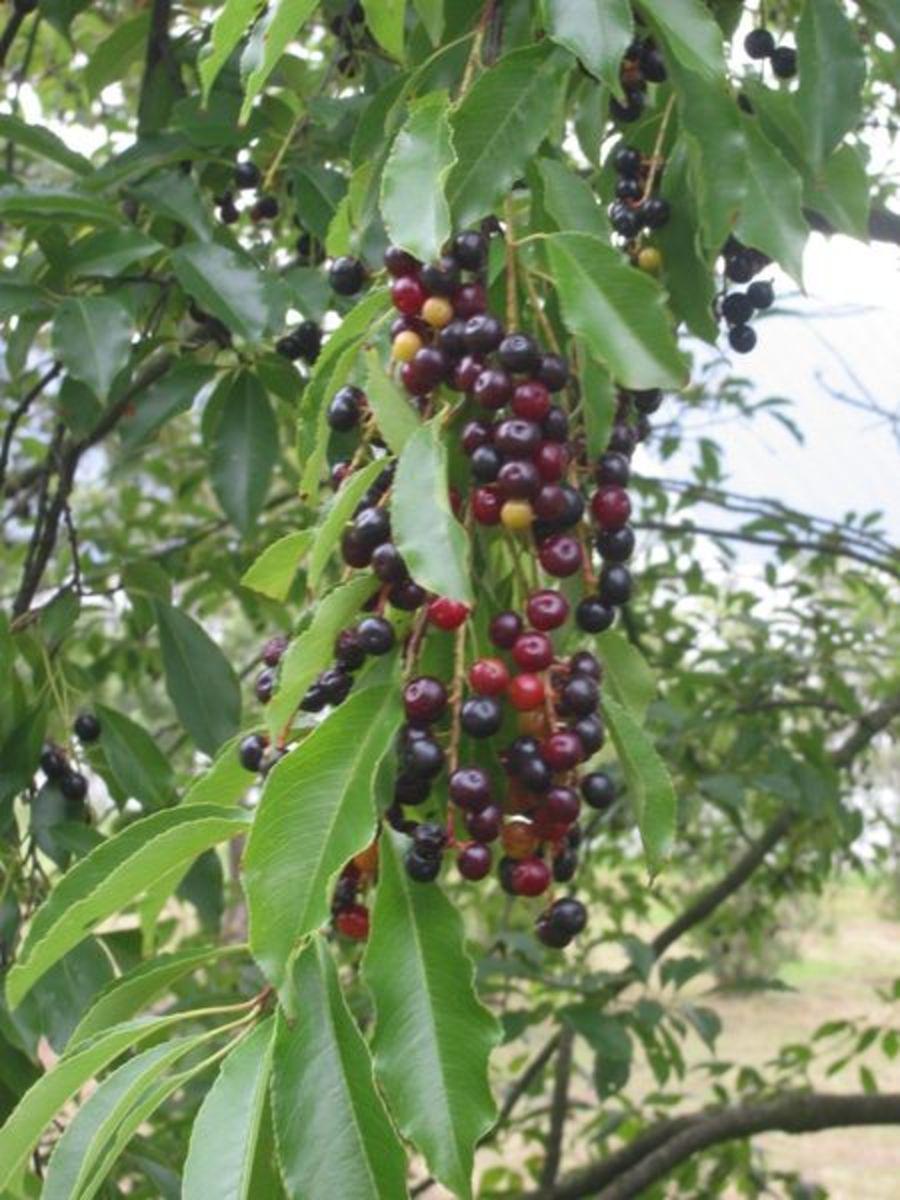 Wild Cherry Tree