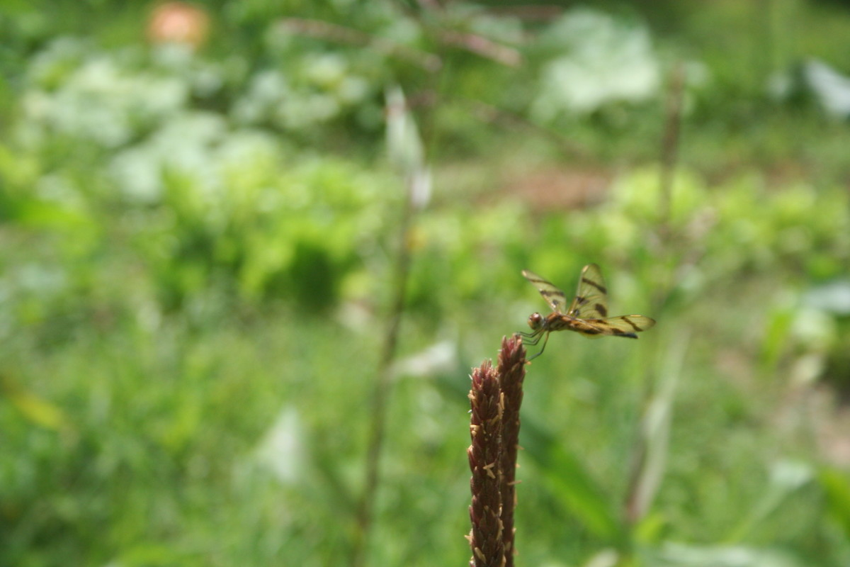 This dragonfly found something tasty among the weeds