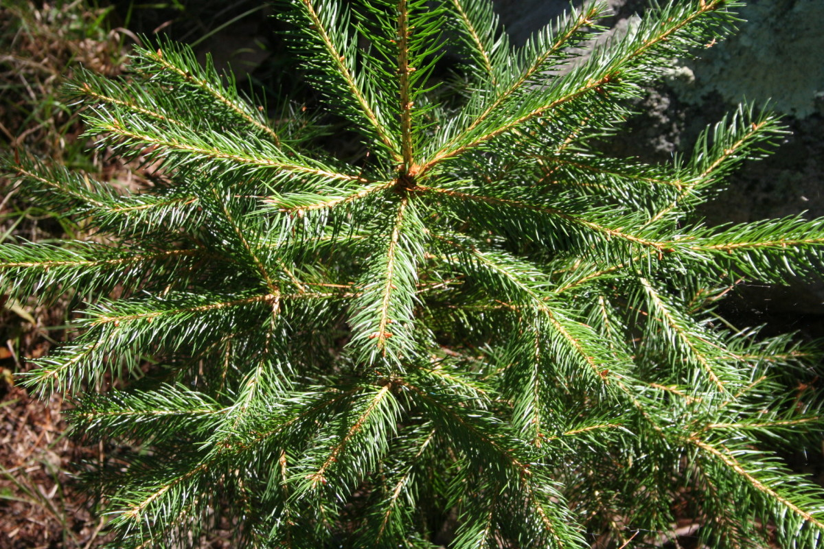 Baby Spruce Tree
