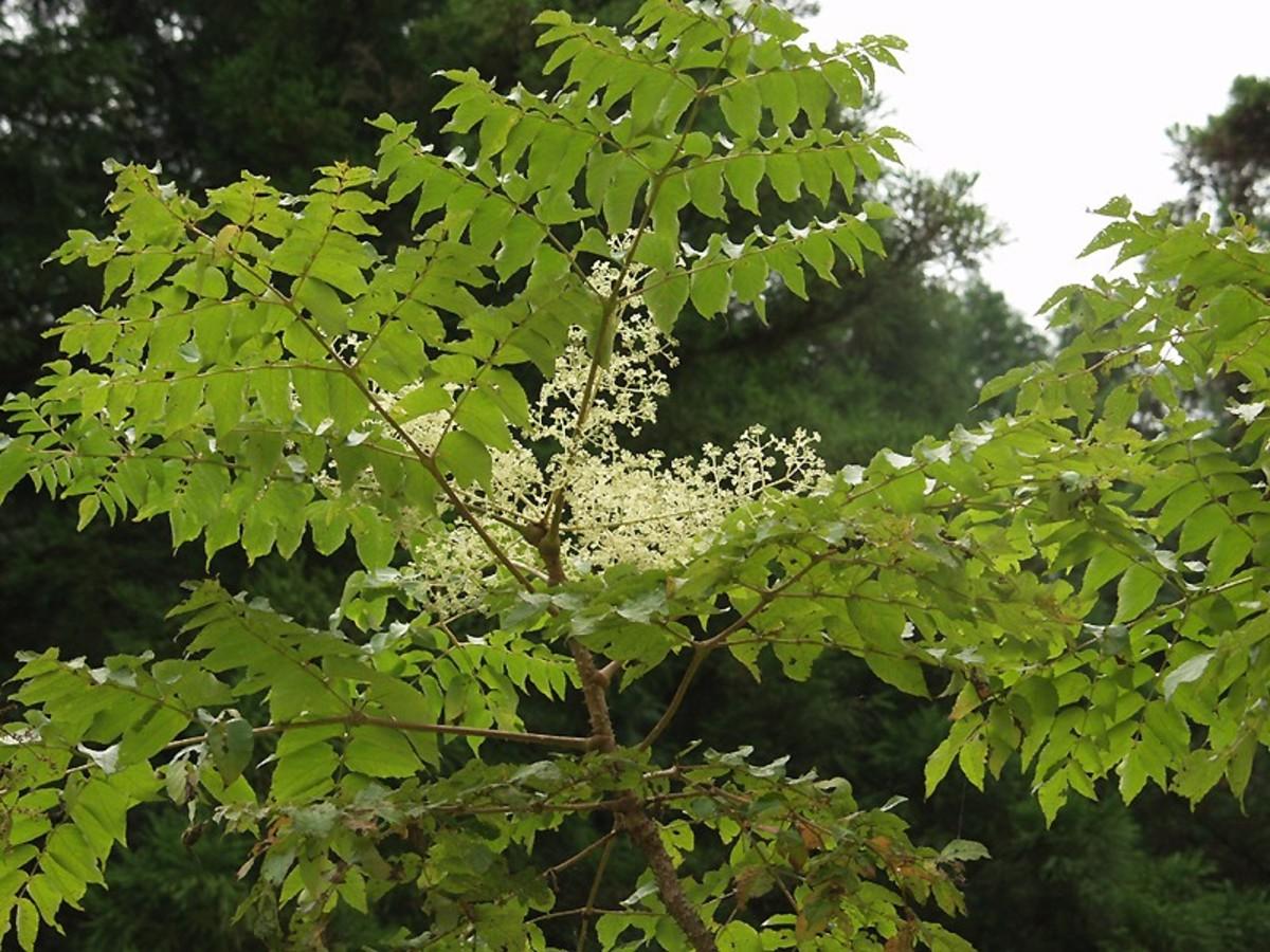 Japanese Angelica Tree
