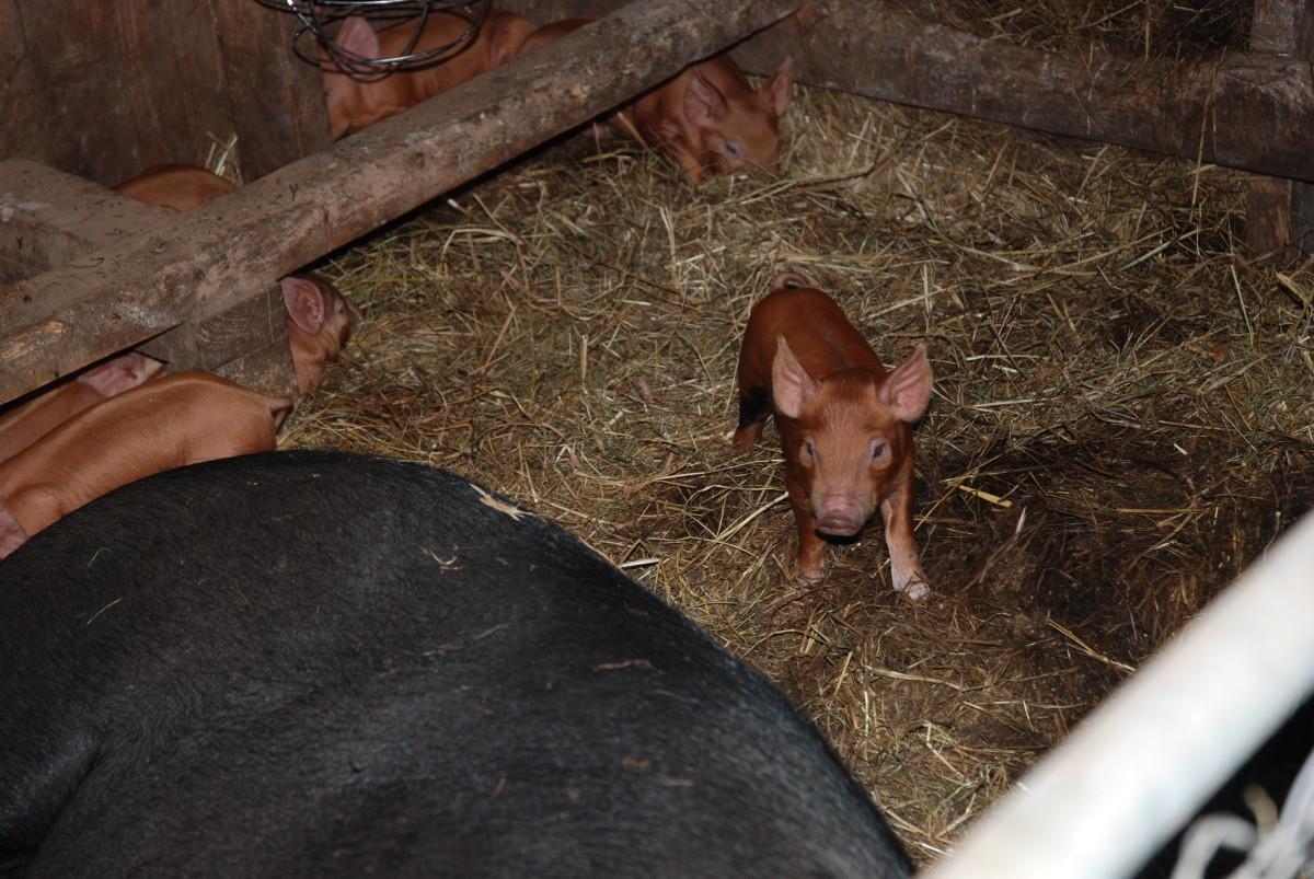 1 week old piglet