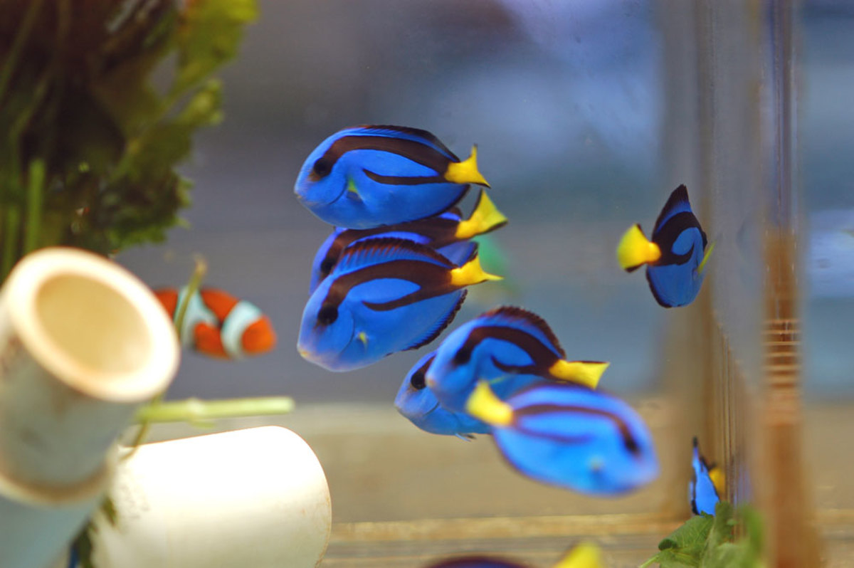 Blue Hippo Tangs