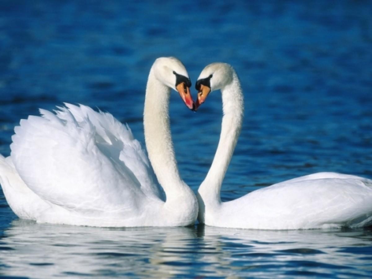 Swans' kiss bills.