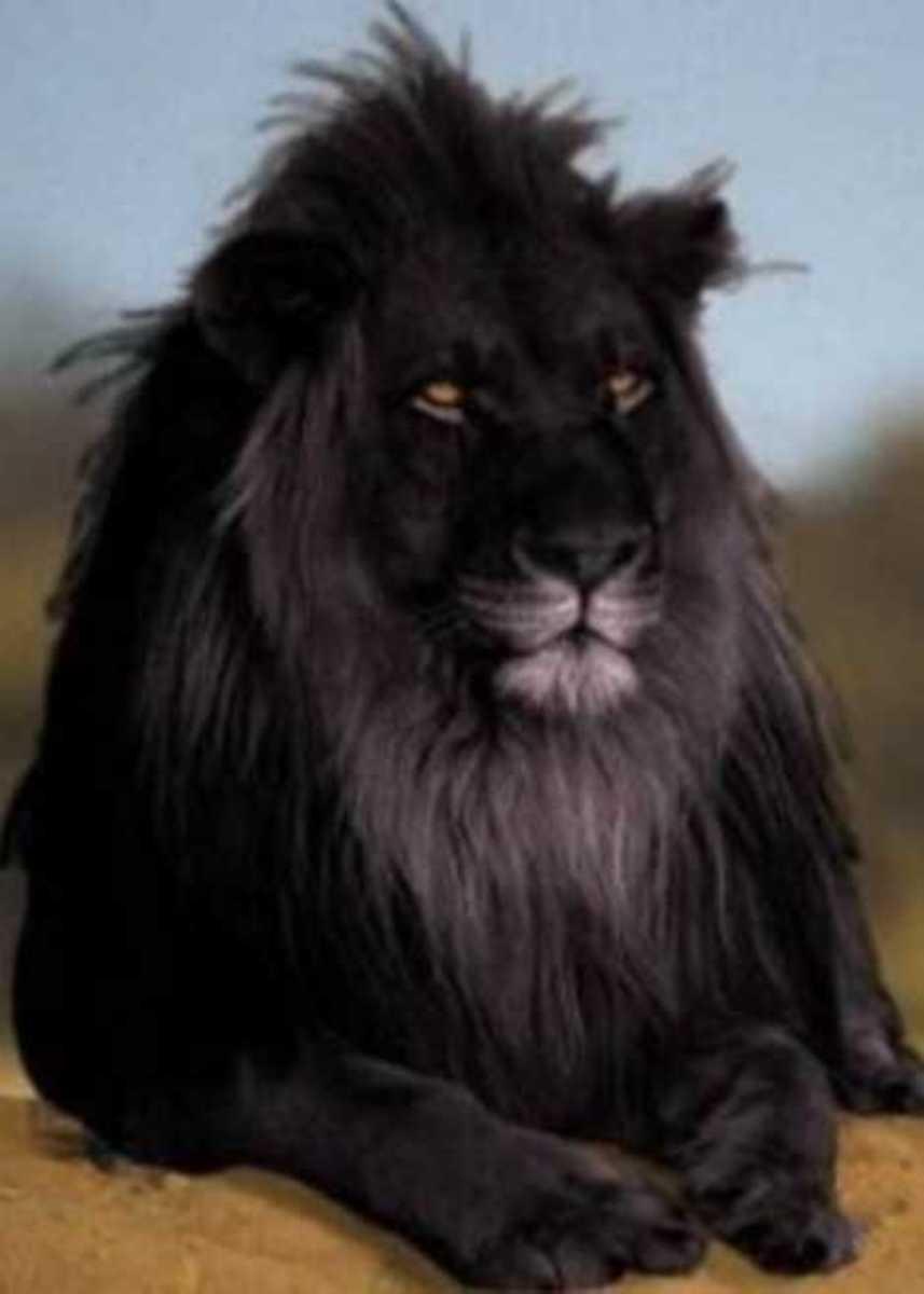 the-black-lion