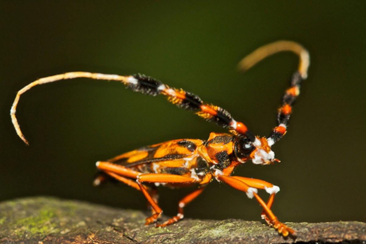 The venomous beetle Batus barbicomis