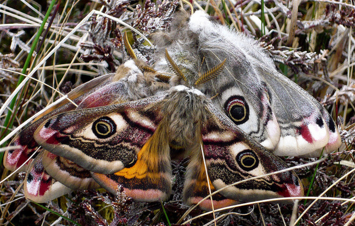 The emperor moth confuses birds with its eye markings