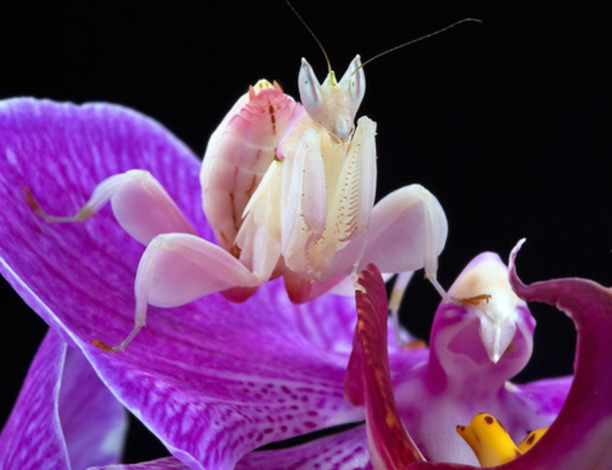 The Beautiful Orchid Mantis mimics the flower