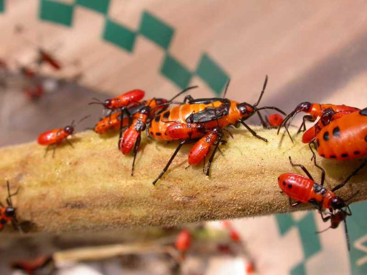 Oncopeltus fasciatus,  the Milkweed Bug feeds on the milkweed sap and contain nasty toxins with an unpleasant taste