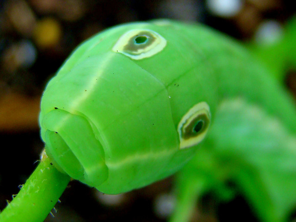 False eyes on a caterpillar