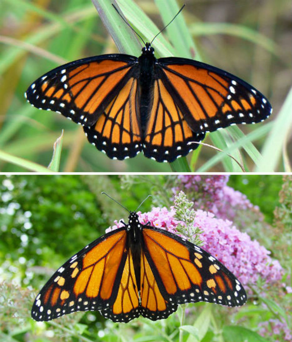Monarch and Viceroy butterflies