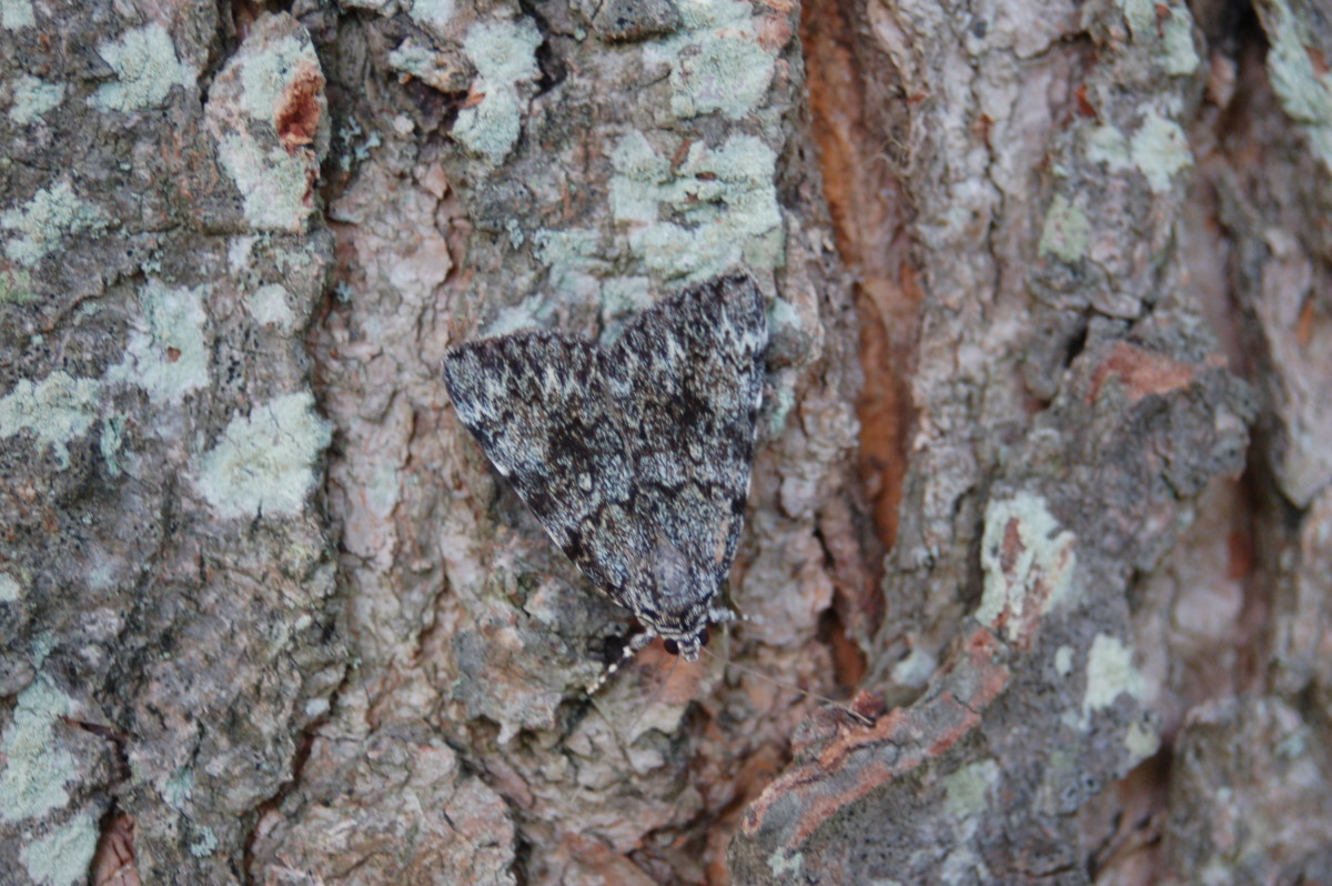A Moth hiding by blending with the tree - crypsis