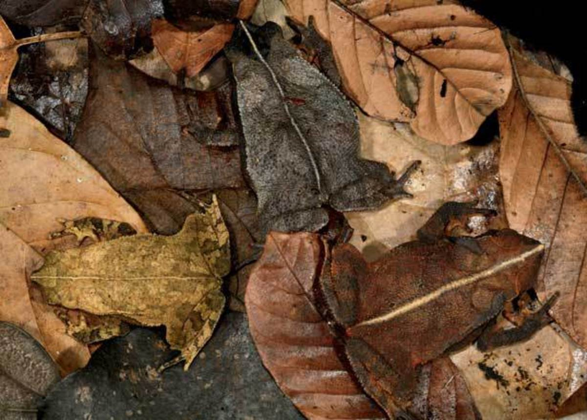 Toad among autumn leaves - Mimesis