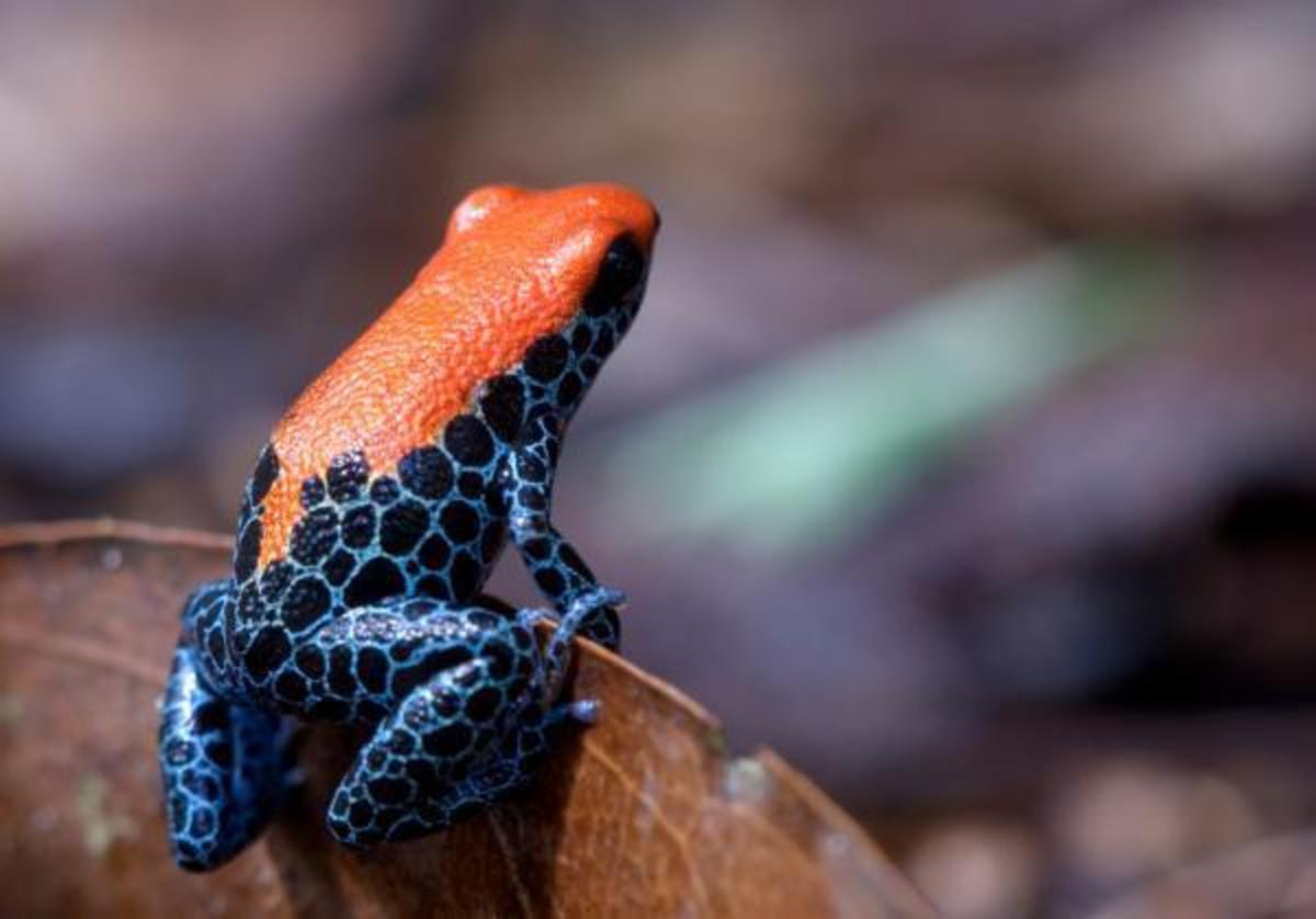 The poisonous Brazilian frog (Deandrobates reticolatus) advertises its nastiness through distinctive coloration