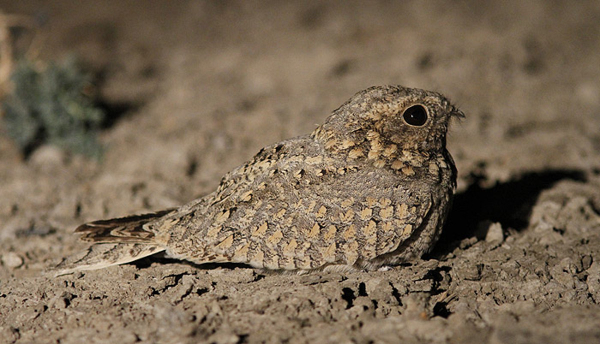 The mottled feathers of a Nightjar helps to blend