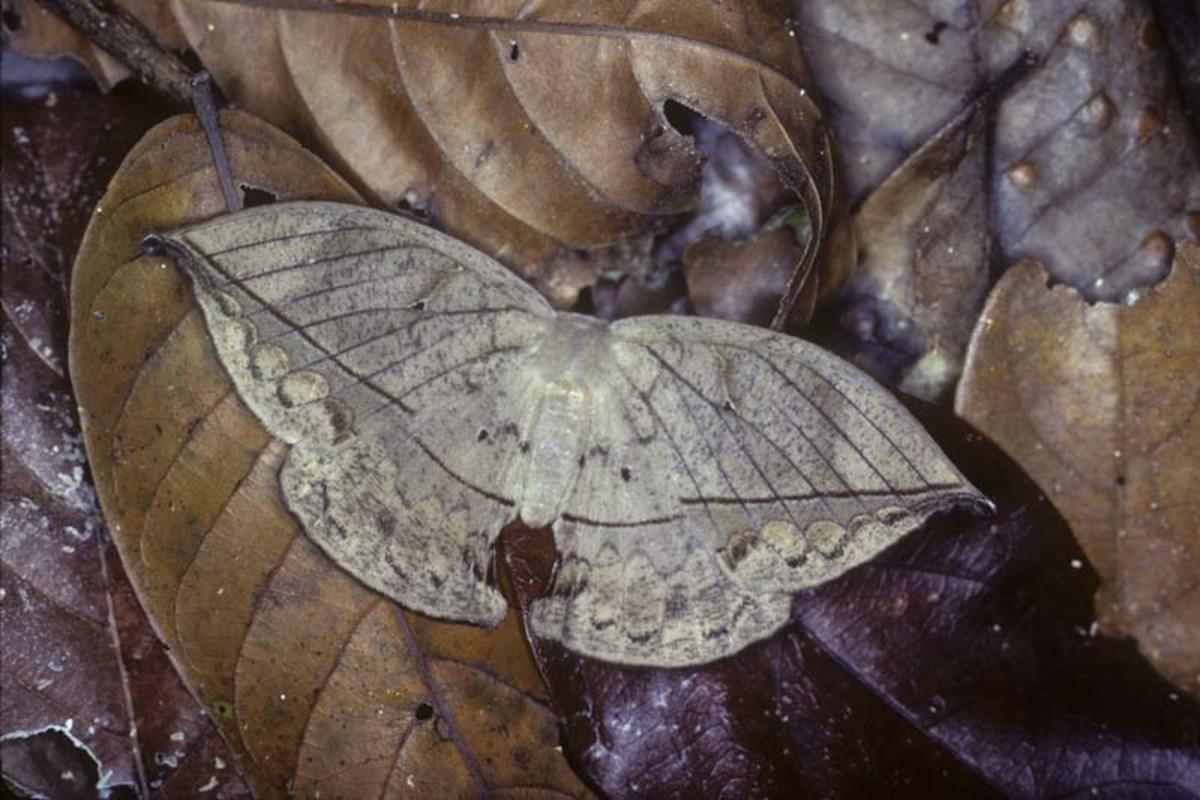 A Leaf Moth - Mimesis
