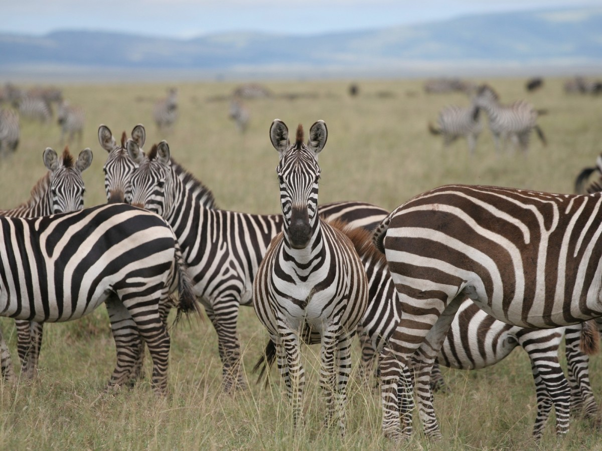 Zebra stripes will confuse a predator especially when the herd is in motion