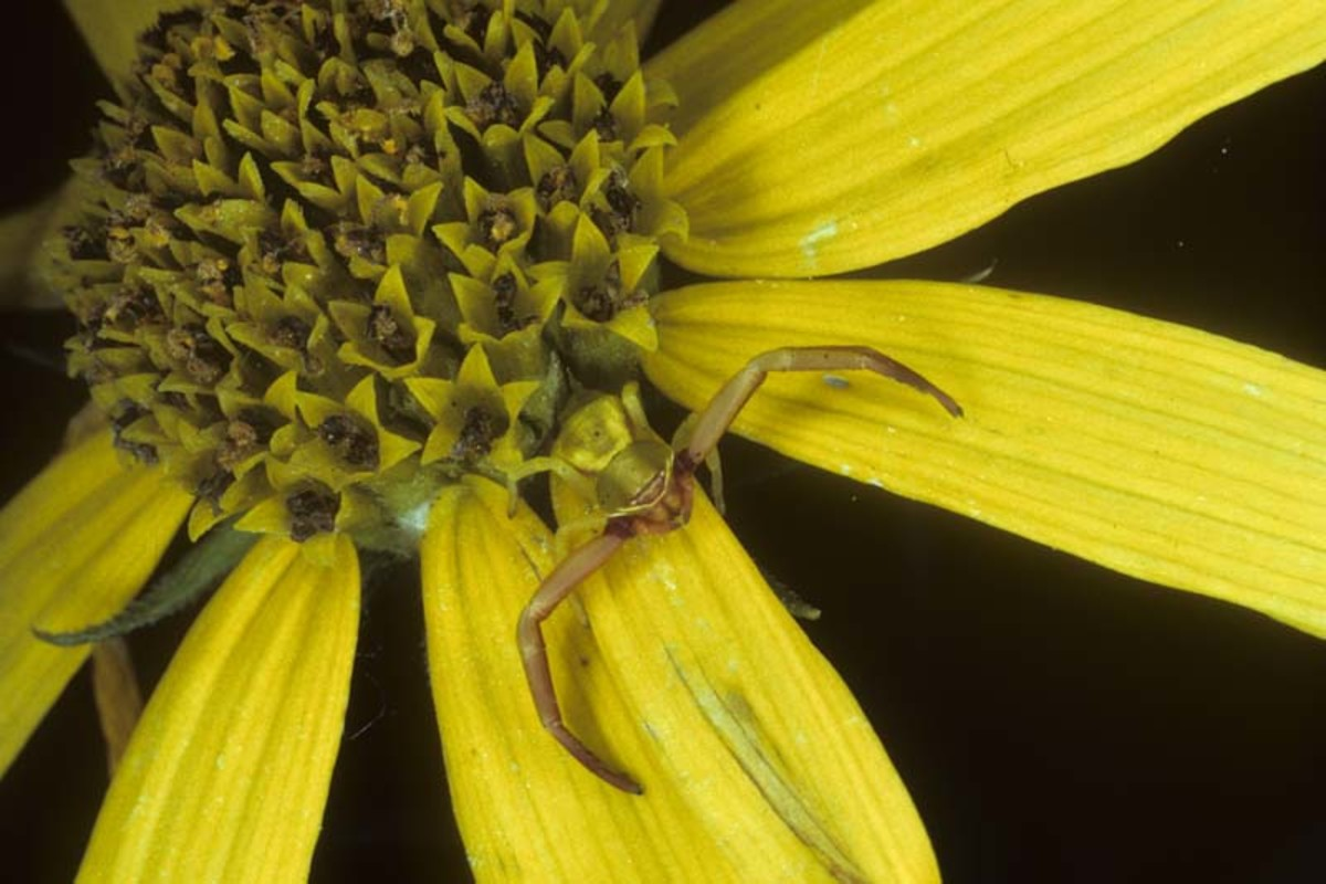 The Florida Crab spider hiding in a flower