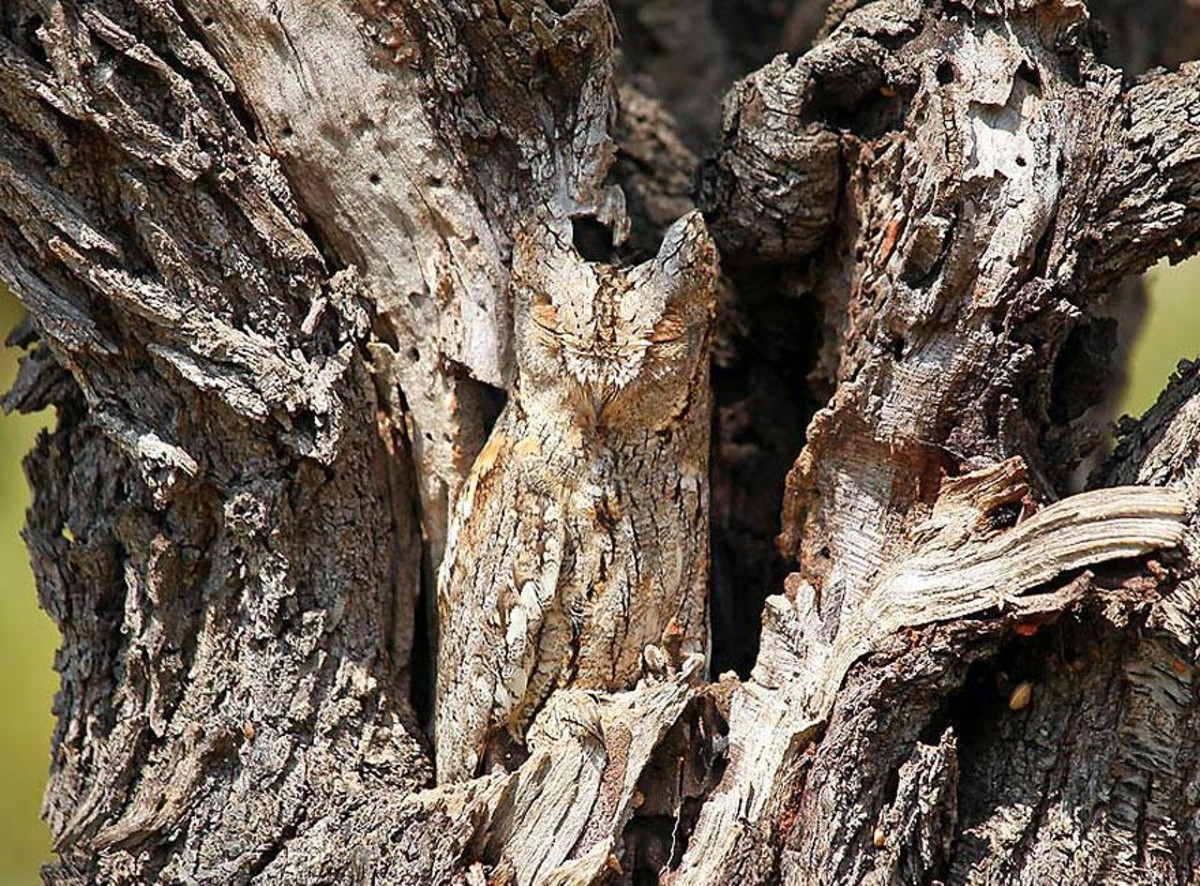 Now You see me, now you don't - An Owl in its natural habitat