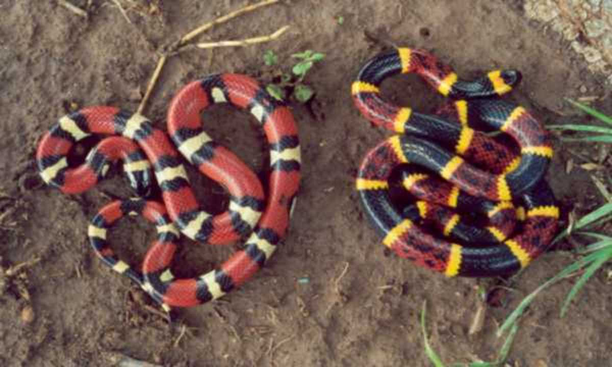 Mexican Milk Snake (Lampropeltis triangulum annulata ) mimics a venomous Coral snake (Micrurus Tener)